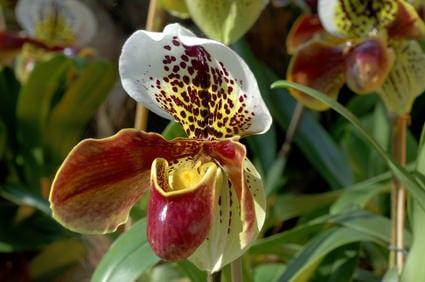 Orchideen Zuchtform - Frauenschuh