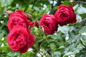 Rosen zur strahlenden Blütenpracht bringen mit der richtigen Rosenpflege