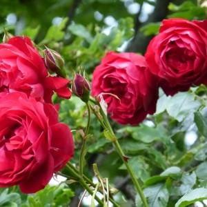 Rosen – Pflege für Anfänger