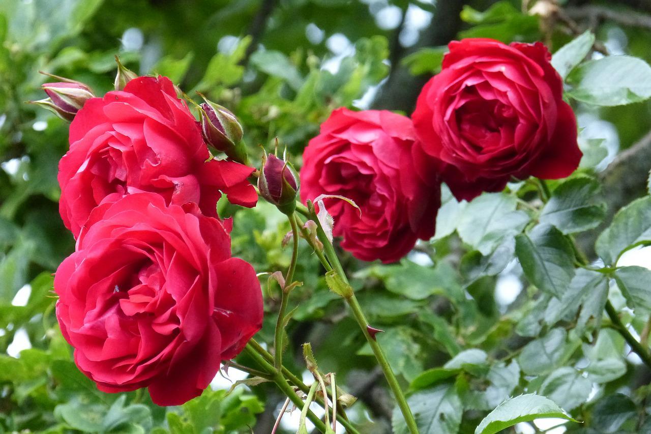 roses-366749_1280