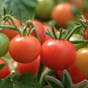 Tomaten selbst aussäen