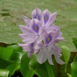 Wasserhyazinthe Eichhornia